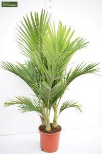 Goedkoop een palmboom kopen